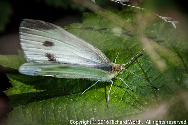 A white butterfly with spots, a Cabbage White, on a bright green leaf in a backyard garden.