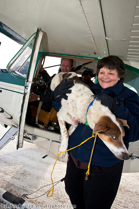 Volunteer dog helper Sandy Vernier helps take scratched musher John Stewart dogs out of Idiitarod airforce pilot Danny Davidson's plane in Nome during the 2010 Iditarod