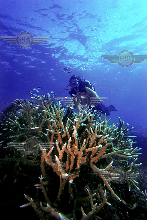 Diver swim next to coral reef on the Great Barrier Reef. Healthy corals on a remote part of the reef. Scuba diving.