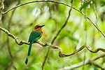 Broad-billed Motmot (Electron platyrhynchum), Panama Rainforest Discovery Center, Gamboa, Panama