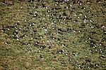 Gray-headed Albatross (Diomedea chrysostoma) Elsehul, South Georgia Island, USA
