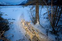 Jim Lanier drops onto the South Fork of the Kuskokwim at the Rohn checkpoint on his way to Nikolai during Iditarod 2009