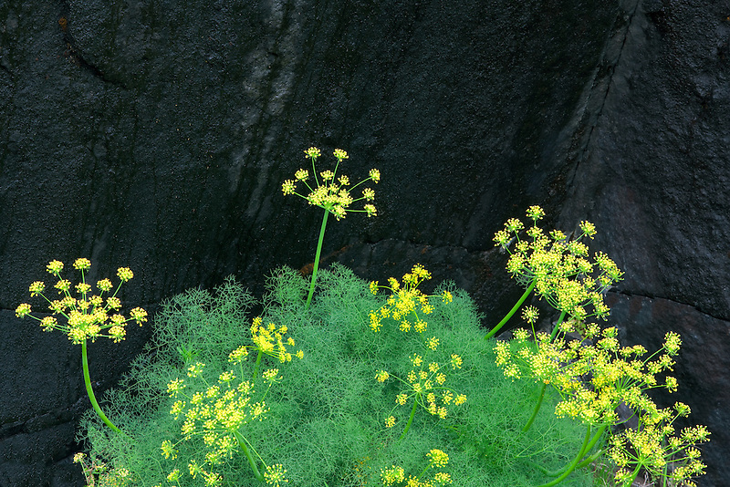 Pungent Desert Parsley (Lomatium grayi) and black rock. Columbia River Gorge National Scenic Area, Washington