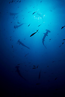 This is the edge of a school of hundreds (thousands?) of hammerhead sharks, Sphyrna lewini, that were encountered off Darwin Rock at the northern extreme of the Galapagos Islands.