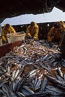 """Europe/France/Bretagne/29/Finistère/Le Guilvinec: Pêche en mer sur le chalutier """"Samouraï"""" - Tri du poissons"""