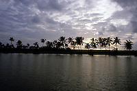 Silhouettes of coconut trees at sunset, Kerala, India.