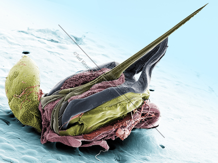 Scanning electron microscope image of a Honey Bee Stinger. (Apis mellifera)  The large sack on the left produces the poison.  Once the barbs are set into the victim, the poison flows between the two blades of the stinger.  This image represents a field of view of 2 mm...