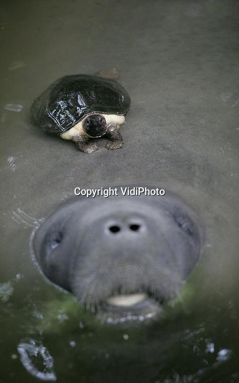 VidiPhoto..ARNHEM - Wie niet snel is moet slim zijn. En dat is deze schildpad in de Bush van Burgers' Zoo zeker. Zodra het voedertijd is, lift deze trage waterschildpad met zijn korte pootjes mee op de rug van een zeekoe om zo een graantje mee te kunnen pikken tijdens de voedertijd van de zeekoeien. Burgers is het enige dierenpark in Nederland met zeekoeien. Het voeren is zeer arbeidsintensief omdat dit met de hand moet gebeuren terwijl de verzorgers in het water staan. Reden is dat zeekoeien het voedsel niet van de bodem kunnen halen.