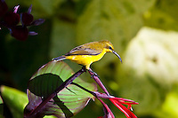 Oliive-backed Sunbird female, Etty Bay, Queensland, Australia