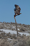 Golden Eagle, Aquila Chrysaetos, Nevada, winter, State Highway 225,