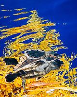 loggerhead sea turtle, Caretta caretta, hatchling, sheltering among sargassum weed, Sargassum sp., a brown algae, for protection in open water, Sargasso Sea, Atlantic Ocean