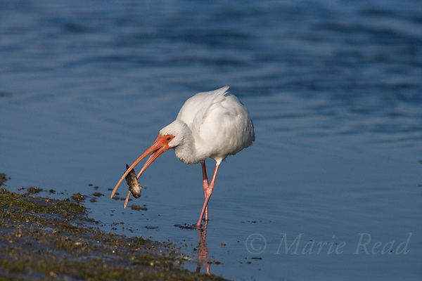 White Ibis (Eudocimus albus) catches a toadfish, Florida, USA
