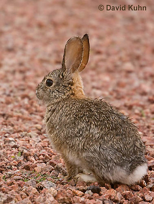 0717-1008  Desert Cottontail Rabbit (Audubons Cottontail), Sylvilagus audubonii  © David Kuhn/Dwight Kuhn Photography