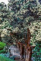 Luma apiculata (Chilean Myrtle) evergreen tree in bloom in garden