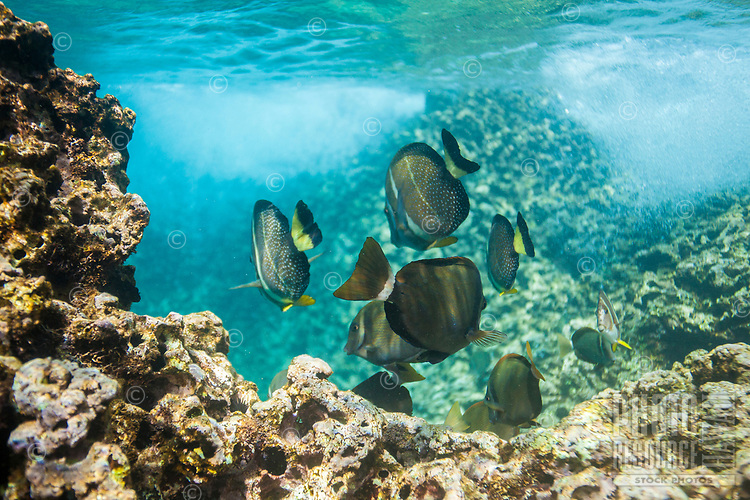 Whitebar and whitespotted surgeonfish feed along the reef at Shark's Cove, O'ahu.