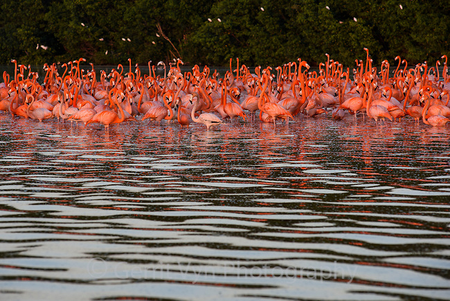 American Flamingos (Phoenicopterus ruber) gathering in the late afternoon prior to departing for their night roost. Celestun Biosphere Reserve, Mexico. February.