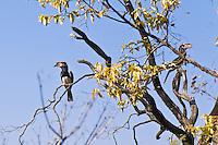 Trumpeter Hornbill at Victoria Falls, Zambia