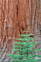 Small fir tree and giant sequoia in Mariposa Grove. Yosemite National Park, California