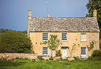 Sheep graze in meadow in front of typical Cotswolds stone house, Taynton, Oxfordshire