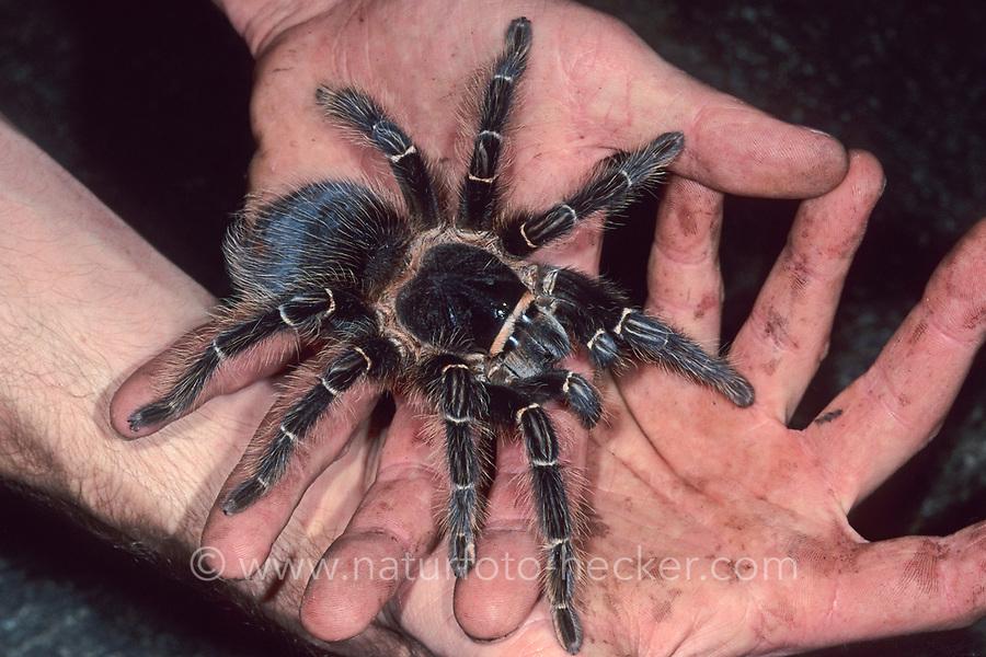 Vogelspinne, auf Hand, Händen, Lasidora spec., tarantula, Vogelspinnen, Theraphosidae, Aviculariidae, Tarantulas