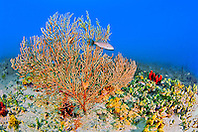 deepwater sea fan, Iciligorgia schrammi, off Tampa, Florida, USA, Gulf of Mexico, Caribbean Sea, Atlantic Ocean