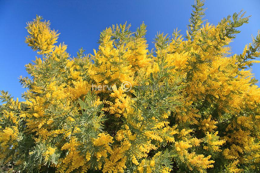 Mimosa 'Rêve d'Or', Acacia dealbata 'Rêve d'Or' // Silver Wattle 'Rêve d'Or', Acacia dealbata 'Rêve d'Or'
