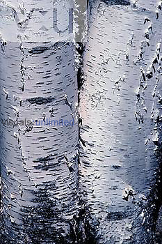 Paper Birch bark with lenticels