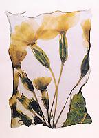 Pressed Primrose ( Primula Vulgaris )-  Wild  flowers - Polaroid lift.