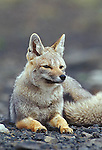 Grey Fox resting,Torres del Paine National Park, Chile