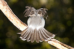 Grey Butcherbird shows owl pattern on takeoff, Brisbane Australia.   //   Grey Butcherbird: Artamidae (Cracticidae): Cracticus torquatus. Length to 32cm, wingspan to NNcm, weight to 100g. Widespread throughout Australia except for northern coastal areas, and inland west from Cairns in Queensland to Port Hedland in Western Australia. Occurs in open woodland, towns, and cities where it is a frequent visitor seeking food from humans. Ebullient, vigorous, aggressive, with rollicking calls characteristic of the dawn chorus. Feeds on a variety of arthropods, and smaller vertebrate prey that it may impale on a thorn or in a fork to hold it in place while it feeds. Here, as it takes off, a brief flash of an owl pattern - plump body, large head and two large eyes - may be enough to deter a predator approaching from behind for a fraction of a second, and allow the Butcherbird to survive.   IUCN Status:   Least Concern.  //