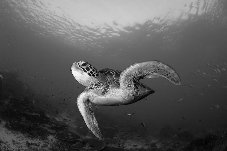 green turtle: Chelonia mydas, Swimming in Komodo National Park, monochrome, black and white image