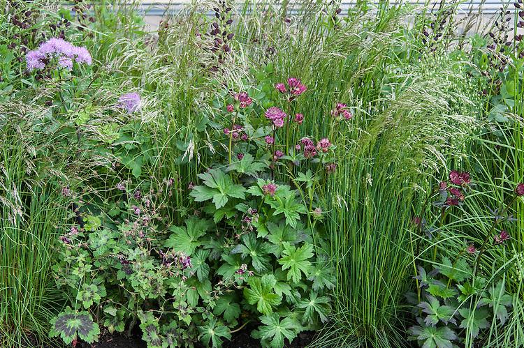 Mixed border including Astrantia major 'Claret', Geranium phaeum var. phaeum 'Samobor' and Deschampsia grasses. The Cloudy Bay Garden designed by Harry and David Rich, RHS Chelsea Flower Show 2015.