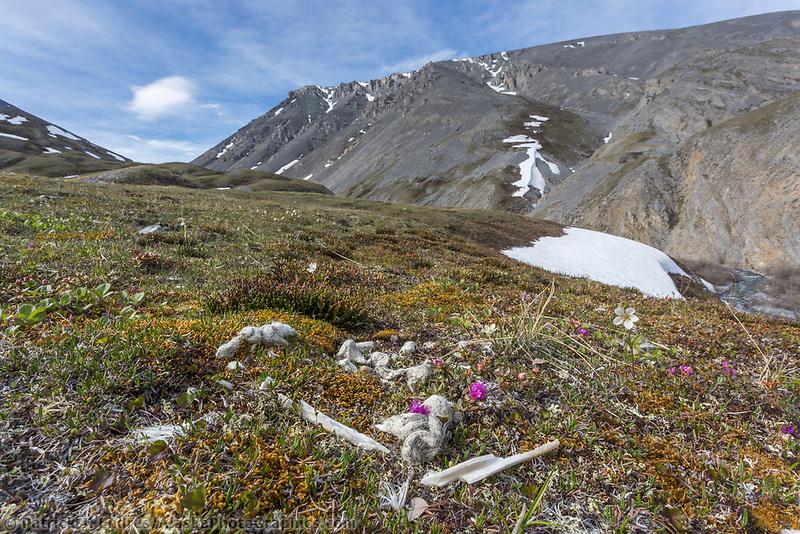 Dall sheep bones and wolf scat. Arctic National Wildlife Refuge, Brooks Range, Arctic Alaska.