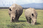 White Rhinoceros grazing. ,Cerathotherium simum, Lake Nakuru National Park, Kenya