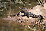 Brazoria County, Damon, Texas; a two foot long baby alligator sunning itself for warmth on the bank of the slough in morning light