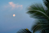 Full moon and palm tree at sunrise with Safron Finch  bird Hawaii, The Big Island