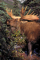 """BULL MOOSE (Alces alces) with dried velet hanging from antlers eats willow twigs.  The name 'moose"""" is derived from the Algonkian name that means """"eater of twigs"""". Moose require approx 5 lbs of browse per hundredweight per day.  Autumn. Denali National Park, Alaska."""