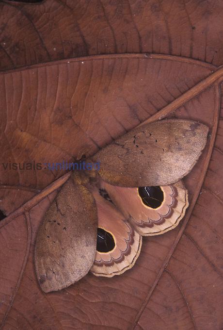 Saturnid Moth (Pseudautomeris lata), Family Saturniidae, Ecuador.