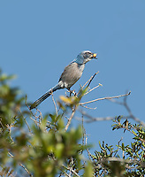 Florida Scrub Jay perched in tree with 2 acorns in beak