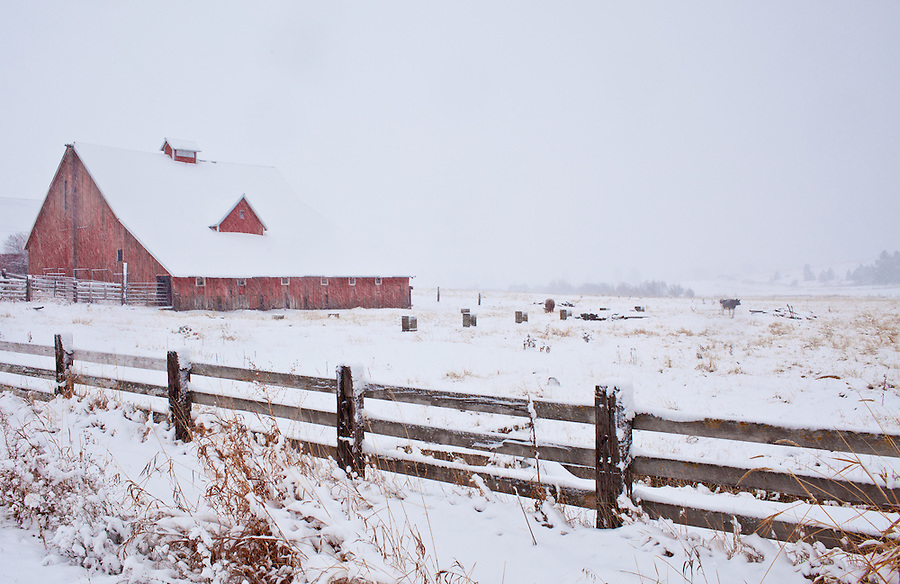 A single cow meanders near a barn during a snow storm in North Idaho.