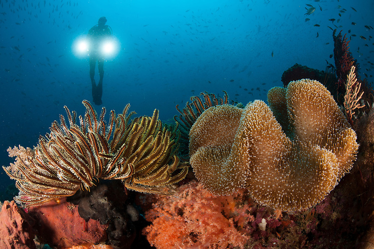 Diver illuminates mushroom leather coral: Sarcophyton sp. and Crinoid (Crinoid sp.) with twin lamps, Raja Ampat, Indonesia