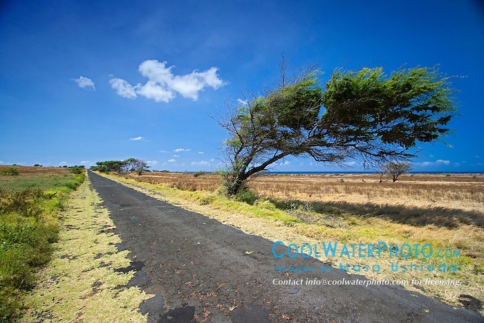 Wind-blown tree, South Point Road, Big Island, Hawaii