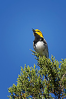 Golden-cheeked Warbler, South Llano River State Park, Junction, TX