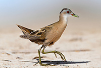Little Crake - Porzana parva<br /> female