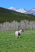 Blackfeet pinto horse in wildflower covered meadow along Cut Bank Creek with the Rocky Mountains and Glacier NP in the background