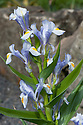 Iris magnifica 'Margaret Mathew', early April. A Juno iris from central Asia.