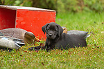 Black Labrador retriever puppy sitting next to some duck decoys.