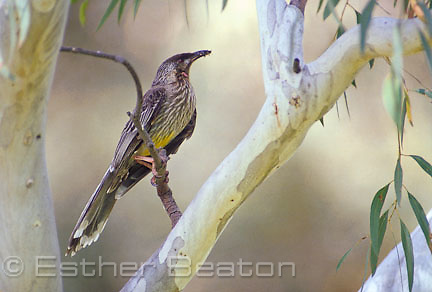 Red Wattlebird (Anthochaera carunculata) taking insect to nestling in eucalypt tree. southeastern Australia