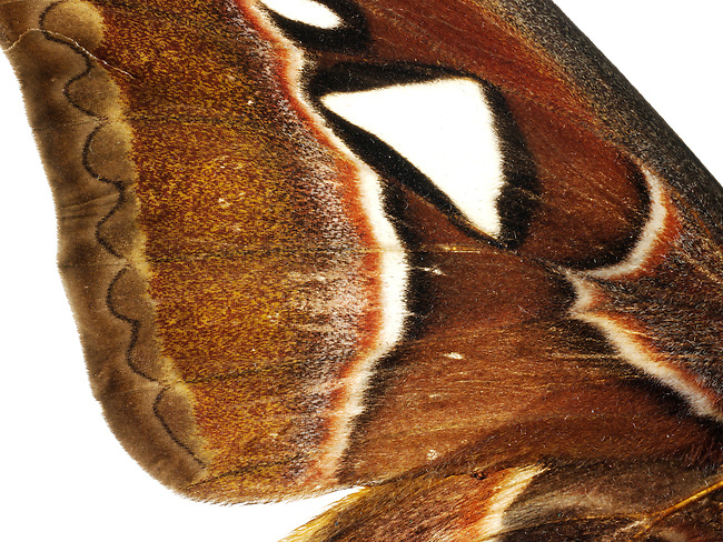 Emperor Moth with decorative wing pattern photo. Funky stock photos
