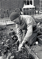 Elderly man gardening, UK 1991
